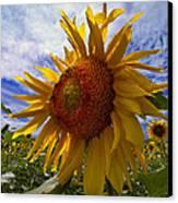 Sunflower Blue Canvas Print by Debra and Dave Vanderlaan