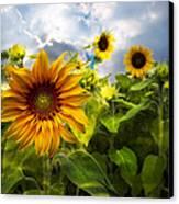 Sunflower Dream Canvas Print by Debra and Dave Vanderlaan