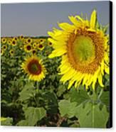 Sunflower Field 1 Canvas Print by Maxwell Amaro