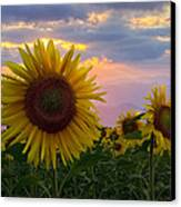 Sunflower Field Canvas Print by Debra and Dave Vanderlaan