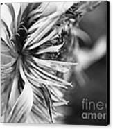 Sunflower Focus Canvas Print