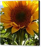 Sunflower Highlight Canvas Print