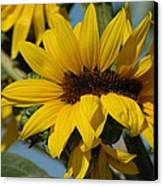Sunflower Madness  Canvas Print by Scott Ware