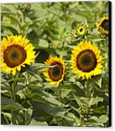 Sunflower Patch Canvas Print by Bill Cannon