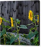 Sunflower Quartet Canvas Print