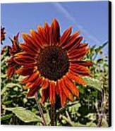 Sunflower Sky Canvas Print by Kerri Mortenson