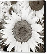 Sunflowers In Back And White Canvas Print by Marilyn Hunt