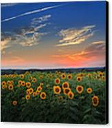 Sunflowers In The Evening Canvas Print by Bill Wakeley