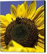 Sunflowers Canvas Print by John Holloway
