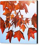 Sunlight On Red Leaves Canvas Print