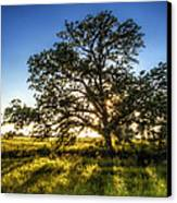 Sunset Oak Canvas Print