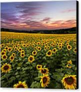 Sunset Sunflowers Canvas Print by Debra and Dave Vanderlaan