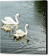 Swan Family Canvas Print by Jim  Calarese