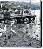 Swans And Ducks In Lake Lucerne In Switzerland Canvas Print