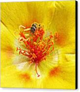 Sweat Bee On Rock Rose Canvas Print