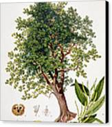 Sweet Chestnut Canvas Print by Johann Kautsky