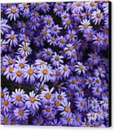 Sweet Dreams Of Purple Daisies Canvas Print