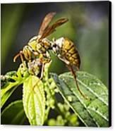 Taiwan Hornet Feeding On A Caterpillar Canvas Print