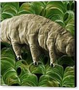 Tardigrade Or Water Bear Canvas Print