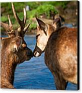 Tender Kiss. Deer In The Pamplemousse Botanical Garden. Mauritius Canvas Print by Jenny Rainbow