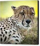 The Cheetah In Grass Canvas Print by Chad Davis