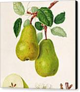 The D'auch Pear Canvas Print by William Hooker