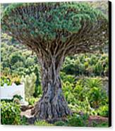 The Dragon Tree / El Drago Milenario Canvas Print by Gavin Lewis