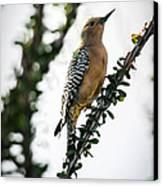 The Gila  Woodpecker Canvas Print by Robert Bales
