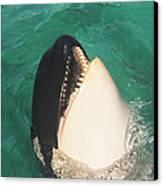 The Original Shamu Orca At Sea World San Diego California 1967 Canvas Print by California Views Mr Pat Hathaway Archives