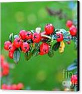 The Red Berries Canvas Print