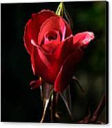 The Red Rode Bud Canvas Print by Robert Bales