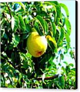 The Ripe Pear Canvas Print by Kay Gilley