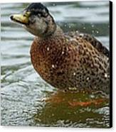 The Shaking Duck Canvas Print by Thomas Fouch