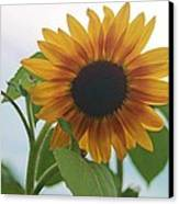 The Sunflower Canvas Print by Victoria Sheldon