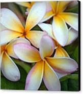 The Sweet Fragrance Of Plumeria Canvas Print by Pamela Winders
