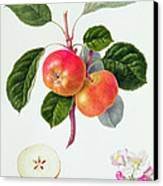 The Trumpington Apple Canvas Print by William Hooker