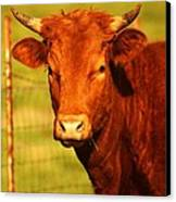 The Young Bull Canvas Print by Adam Dowling