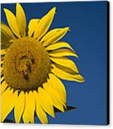 Three Bees And A Sunflower Canvas Print by Adam Romanowicz