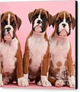 Three Boxer Puppies Canvas Print
