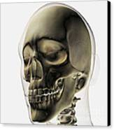 Three Dimensional View Of Human Skull Canvas Print by Stocktrek Images