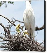 Three Great Egret Chicks In Nest Canvas Print by Carol Groenen