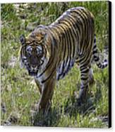 Tiger Canvas Print by Tom Wilbert