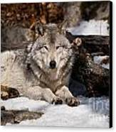 Timber Wolf Pictures 776 Canvas Print by World Wildlife Photography