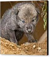 Timber Wolf Pictures 782 Canvas Print by World Wildlife Photography