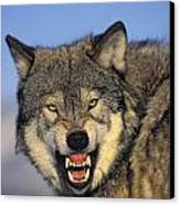 T.kitchin Wolf Snarling Canvas Print by First Light
