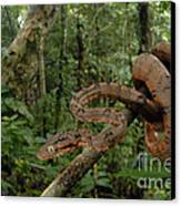 Tree Boa Canvas Print by Francesco Tomasinelli