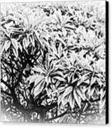 Tree Bush Vignette Canvas Print by Lisa Cortez