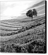 Tree In A Mowed Field. Auvergne. France Canvas Print by Bernard Jaubert
