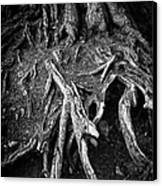 Tree Roots Black And White Canvas Print by Matthias Hauser