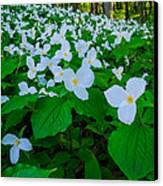 Trillium Forever Canvas Print by Thomas Pettengill